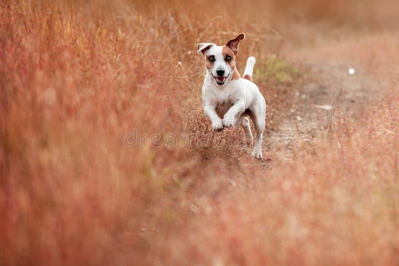 Hund, der am Herbst läuft lizenzfreie stockbilder