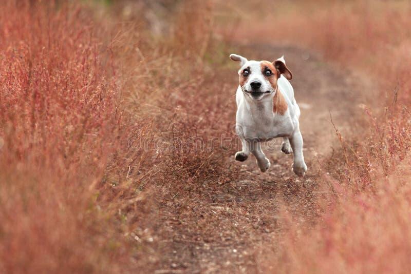 Hund, der am Herbst läuft stockbild