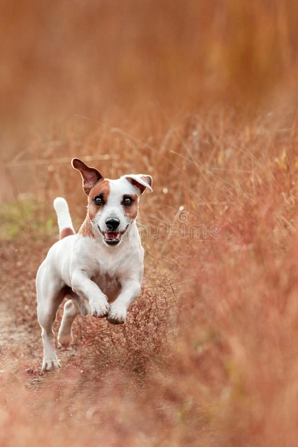Hund, der am Herbst läuft stockfotos