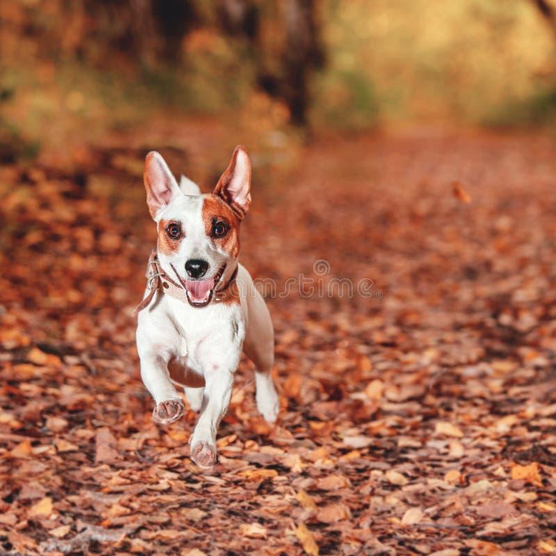 Hund, der am Herbst läuft stockfotografie
