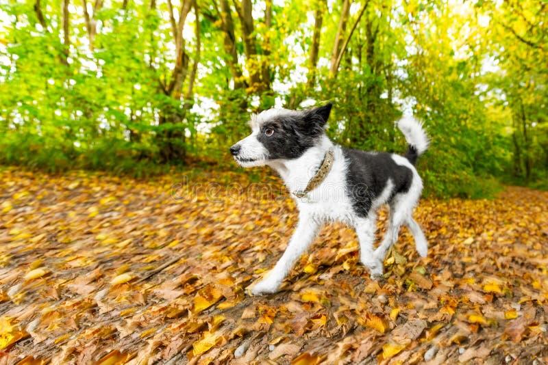 Hund, der in Herbst läuft oder geht stockbild