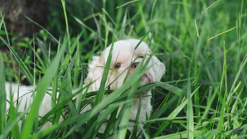 Hund, der hinter dem Gras sich versteckt stockbilder