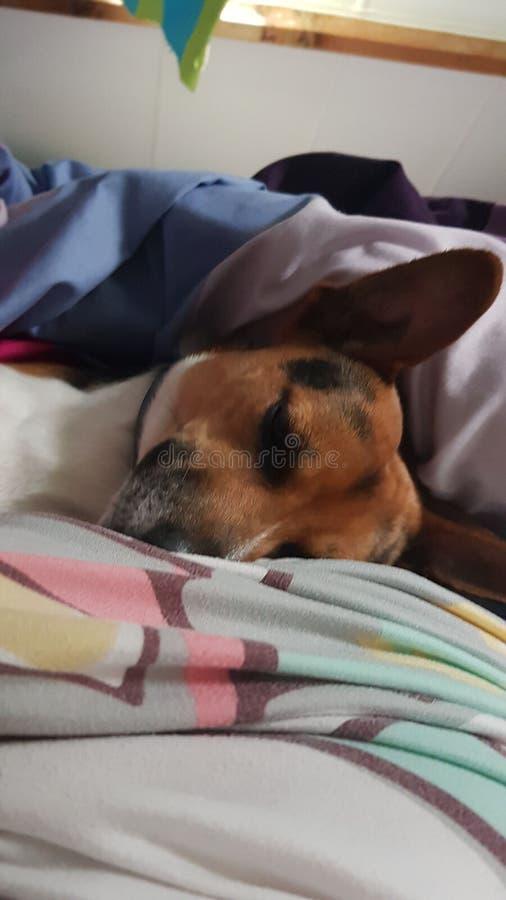 Hund, der im Bett schl?ft lizenzfreie stockbilder
