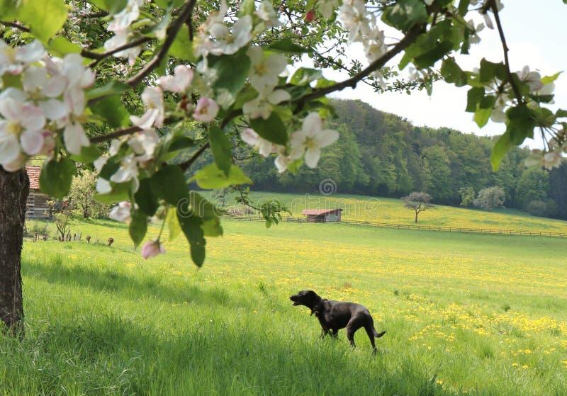 Hund, der im Frühjahr in eine Blume-gefüllte Wiese auf einem Bauernhof in Deutschland geht stockfotos
