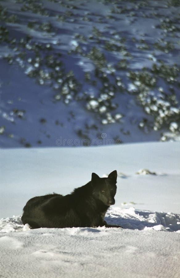 Hund, der im Gebirgsschnee spielt stockfotografie