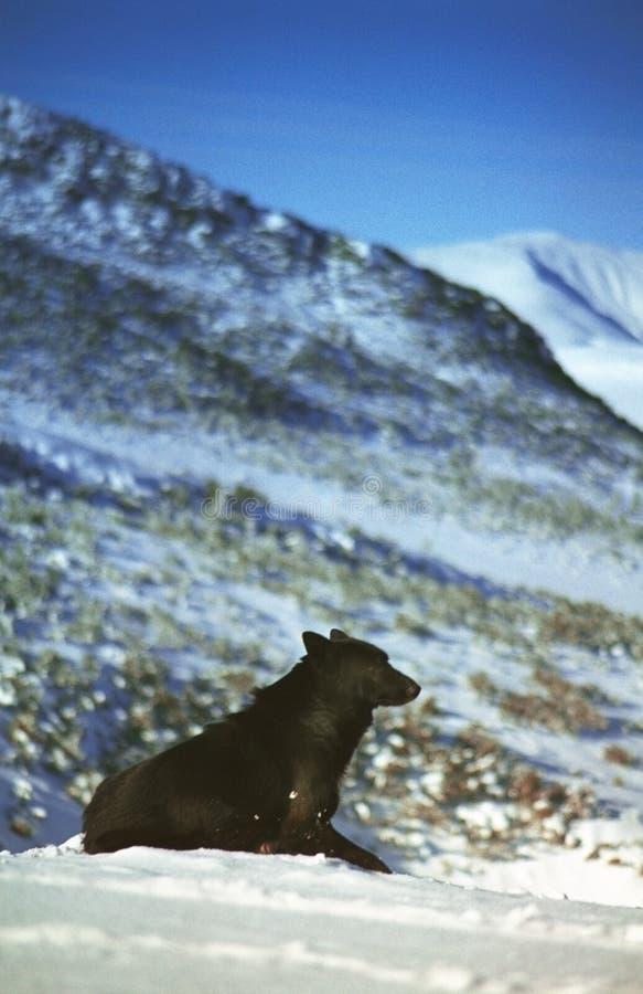 Hund, der im Gebirgsschnee stillsteht lizenzfreie stockfotos