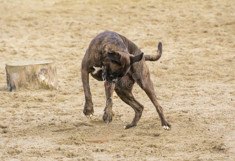 Hund, der im Sand spielt stockbilder