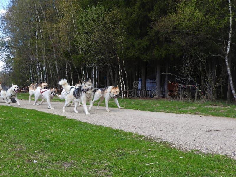 Hund, der im Sommer im Park, sonniger Tag rodelt lizenzfreies stockbild