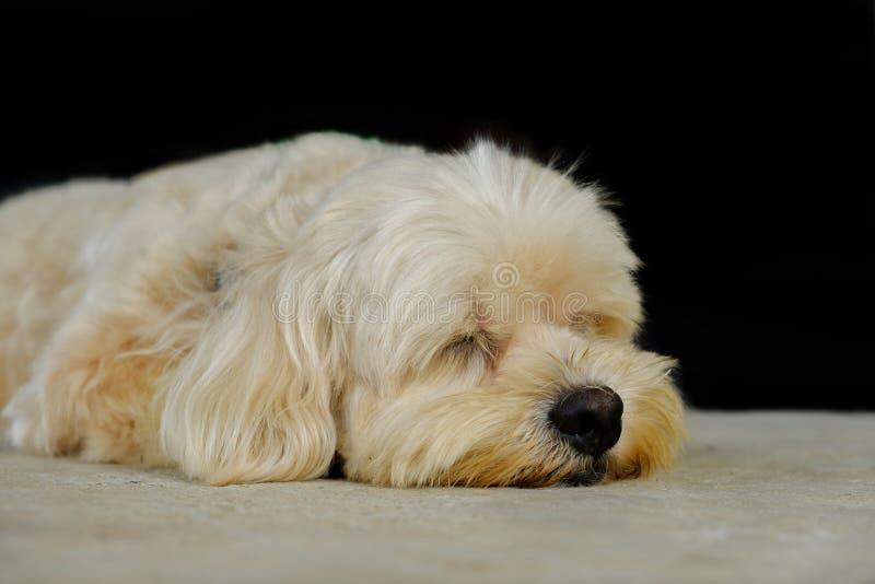 Hund, der jetzt schläft stockbild