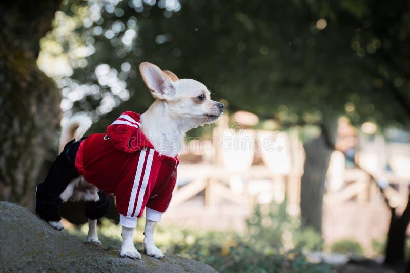 Hund in der Kleidung lizenzfreie stockfotos