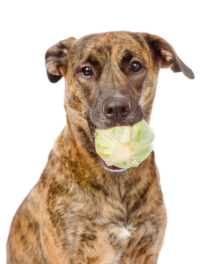 Hund, der Kohl hält Getrennt auf weißem Hintergrund lizenzfreie stockfotos
