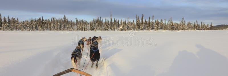 Hund, der in Lappland rodelt stockbild