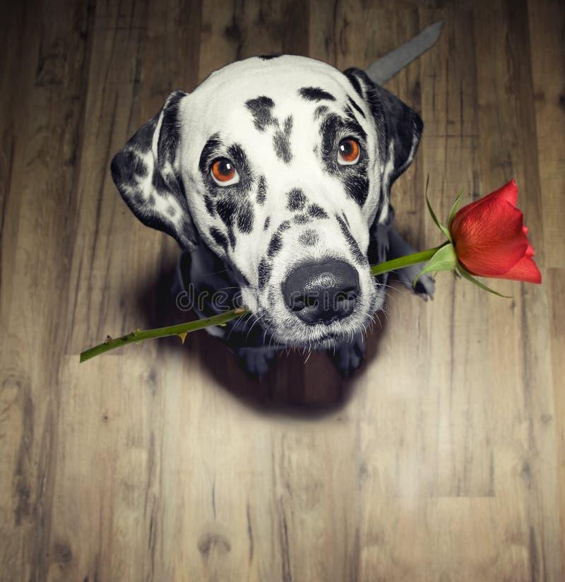 Hund in der Liebe mit Rotrose im Mundgeschenk es stockfotos