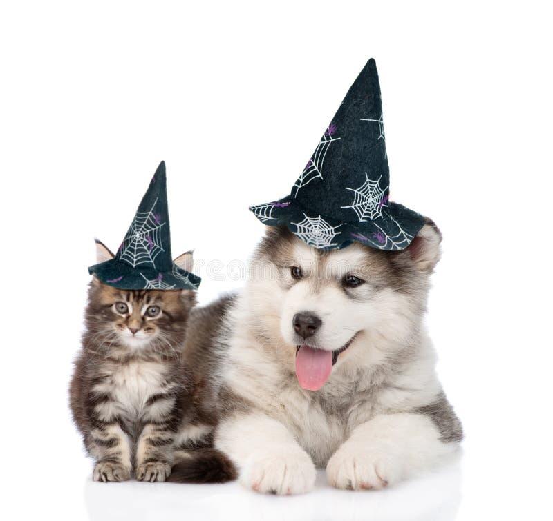 Hund der Maine-Waschbärkatze und des alaskischen Malamute mit Hüten für Halloween Auf Weiß lizenzfreies stockfoto