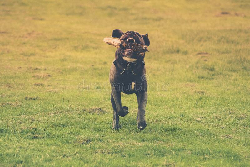 Hund, der mit einem Stock in seinem Mund läuft Gr?ner Hintergrund lizenzfreie stockfotos