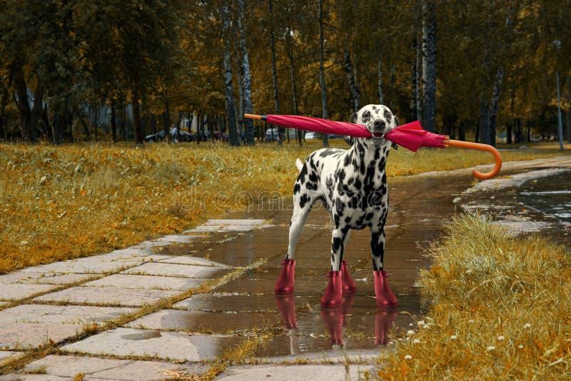 Hund, der mit Regenschirm nach Herbstregen geht stockfotos