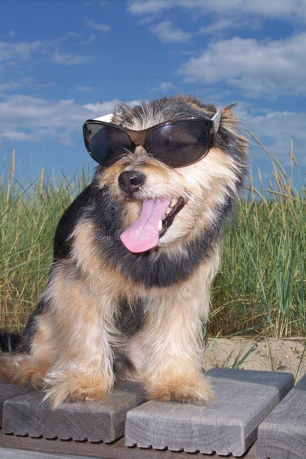 Hund, der mit Sonnenbrillen sitzt stockbild