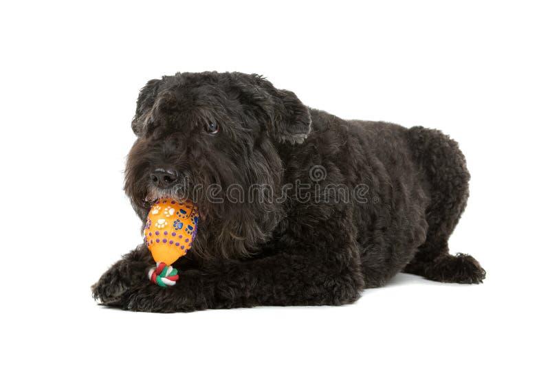 Hund, der mit Spielzeug spielt lizenzfreie stockbilder