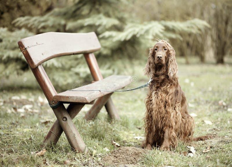 Hund, der nahe einer Bank wainting ist lizenzfreies stockbild