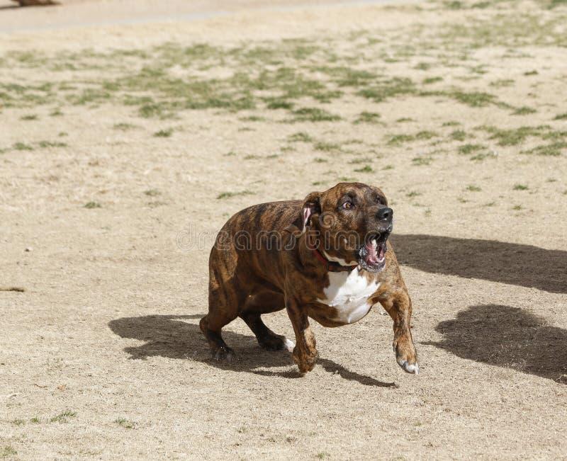 Hund, der am Park bellt stockbild