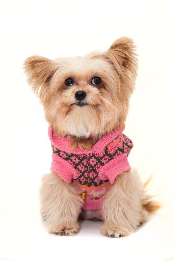 Hund in der rosa Strickjacke stockfotografie