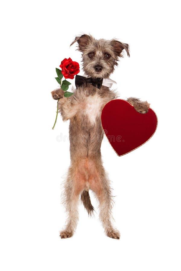Hund, der Rose und Herz-Kasten Schokoladen hält lizenzfreies stockbild