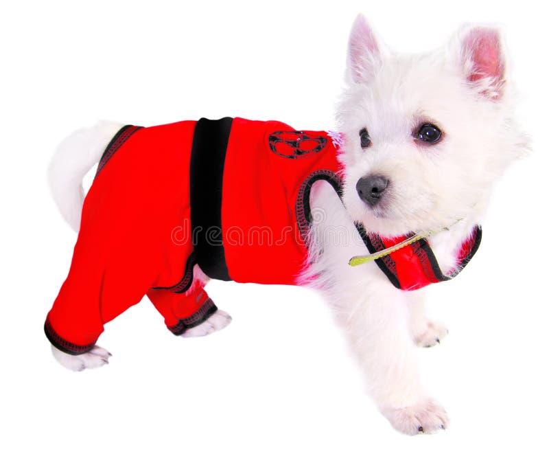 Hund in der roten Klage stockbild