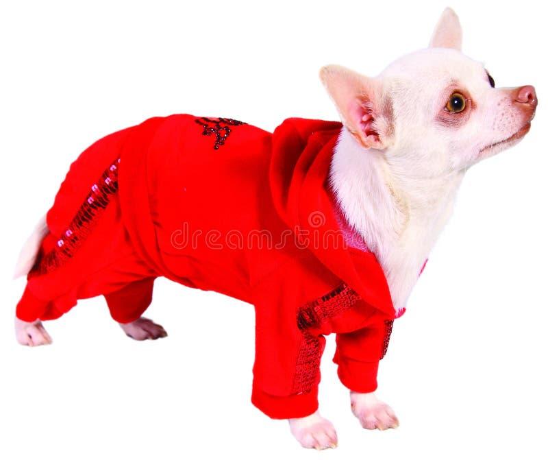 Hund in der roten Klage lizenzfreie stockbilder