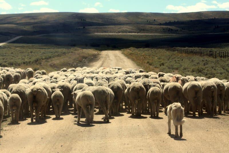 Hund, der Schafe in Herden lebt lizenzfreies stockbild