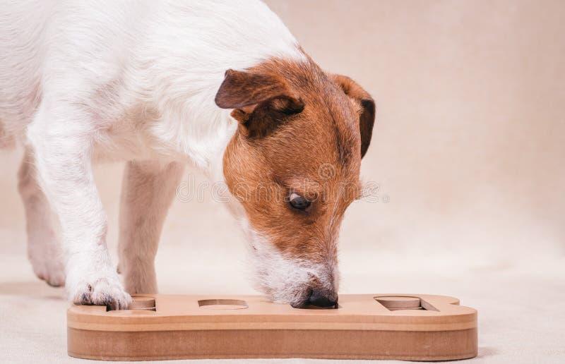 Hund, der Schnüffelnrätselspiel für intellektuelles und nosework Training spielt lizenzfreie stockbilder