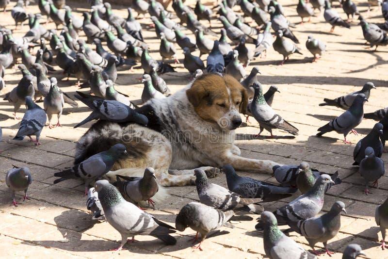 Hund, der sich mit den Tauben picken Zufuhr weg von seinem Pelz hinlegt lizenzfreies stockfoto
