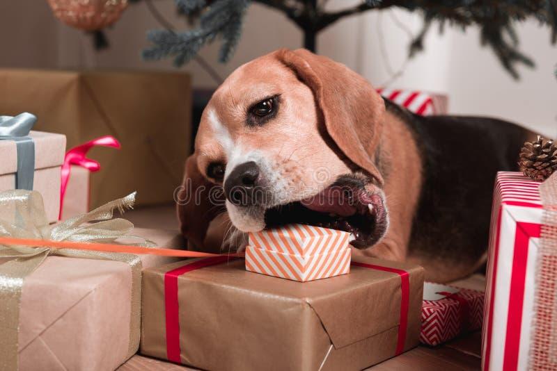 Hund, der versucht, Weihnachtsgeschenke zu essen stockfotografie