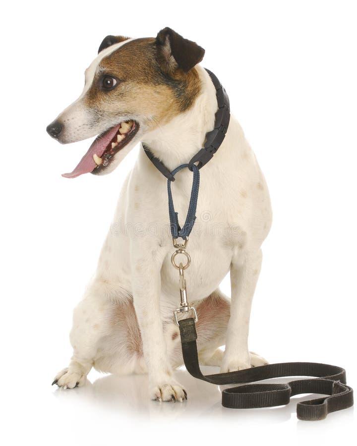 Hund, der wartet, um spazierenzugehen stockfotografie