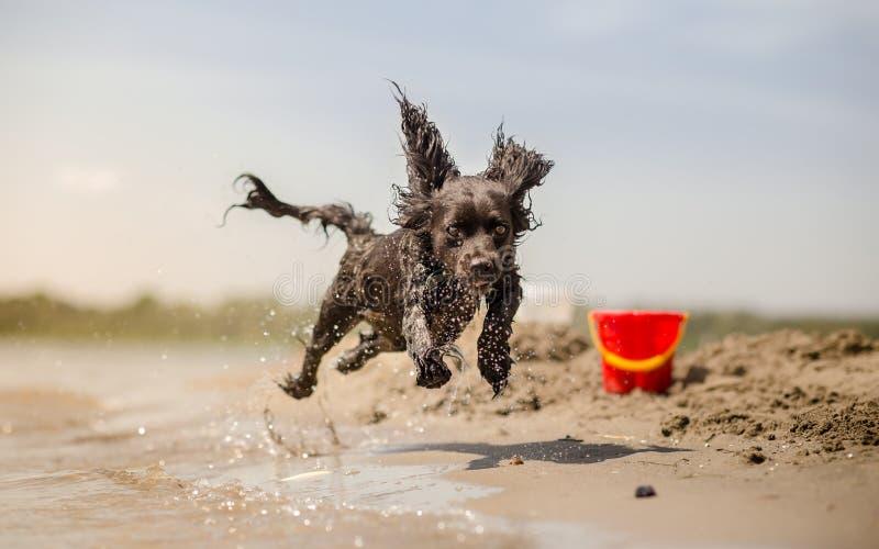 Hund, der in Wasser läuft stockbild