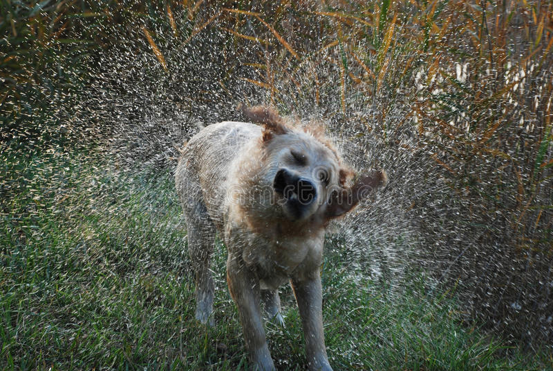 Hund, der weg vom Wasser rüttelt stockbilder