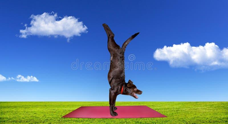 Hund, der Yoga tut lizenzfreie stockbilder