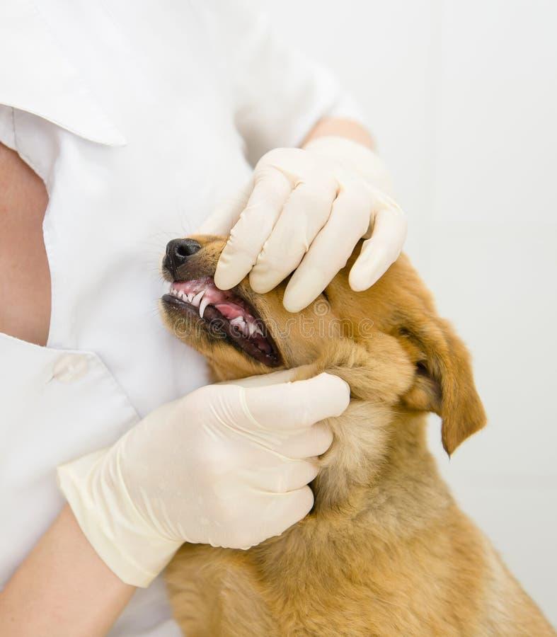 Hund, der Zähne überprüft vom Tierarzt erhält stockfoto