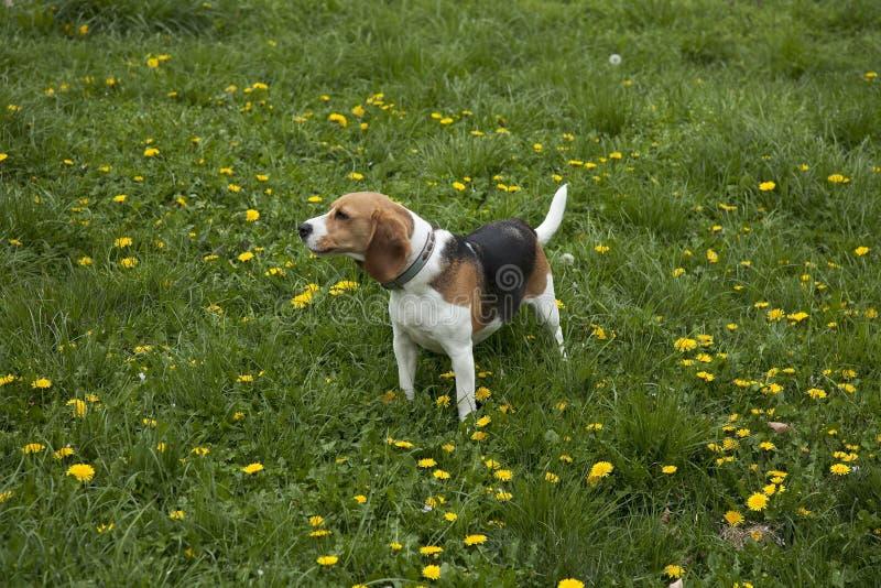 Hund des amerikanischen Foxhound lizenzfreies stockfoto