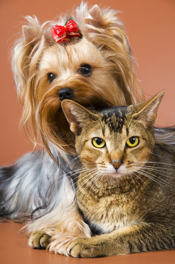 Hund des Brut Yorkshire-Terriers und der Katze stockbilder