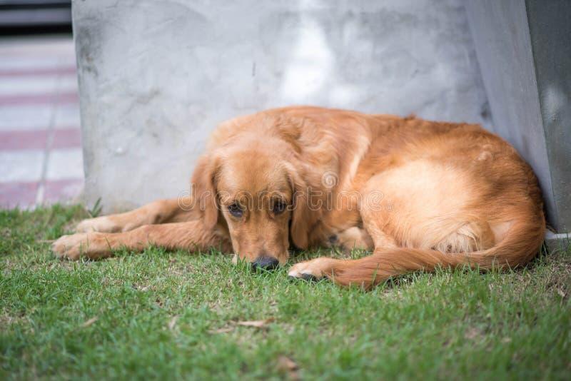 Hund des goldenen Apportierhunds lizenzfreie stockfotografie