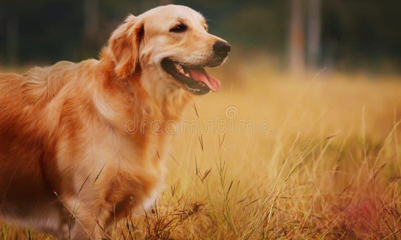 Hund des goldenen Apportierhunds stockfoto