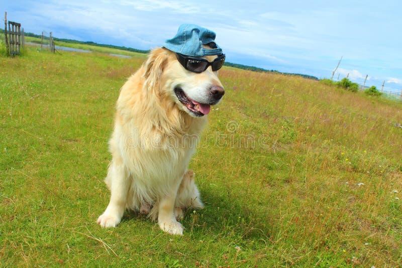 Download Hund Des Goldenen Apportierhunds Stockbild - Bild von golden, apportierhund: 96929729