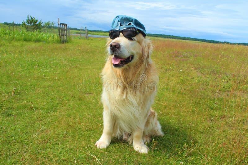 Download Hund Des Goldenen Apportierhunds Stockfoto - Bild von apportierhund, haustier: 96930158