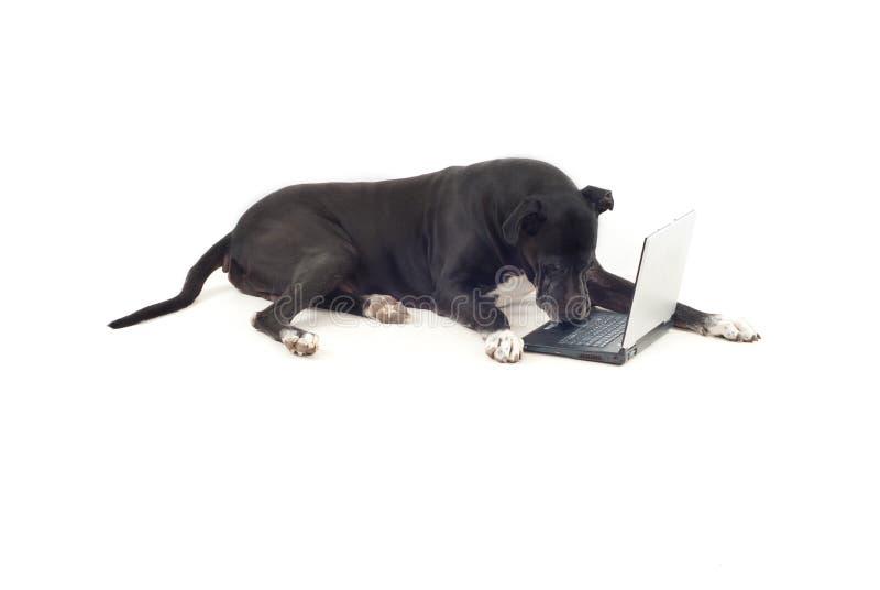 Hund des großen Dänen unter Verwendung des Laptops stockfotografie
