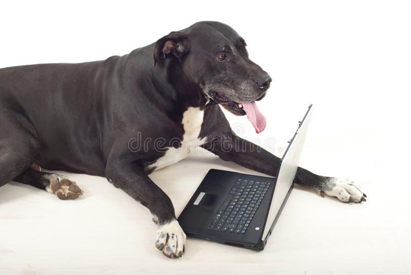 Hund des großen Dänen unter Verwendung des Laptops stockbild