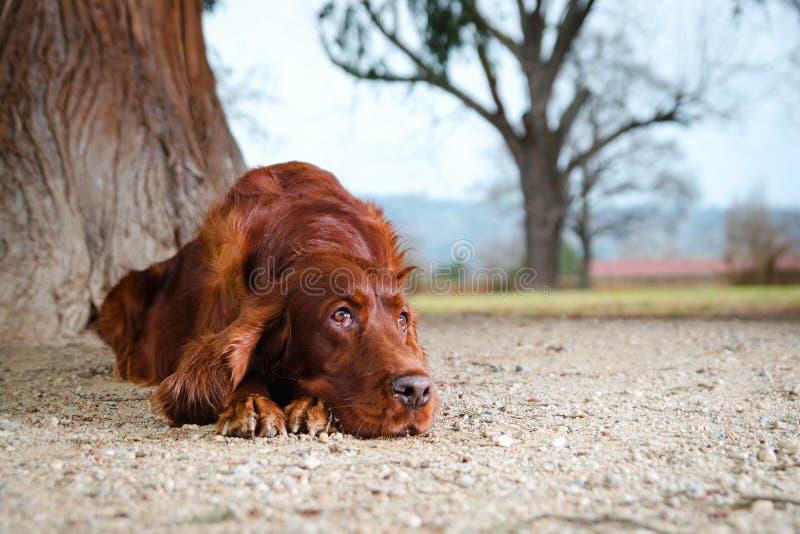 Hund des Irischen Setters, der auf Sand niederlegt lizenzfreie stockbilder