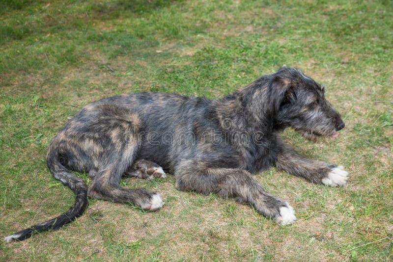 Hund des irischen Wolfshunds, der auf dem Gras liegt stockfoto