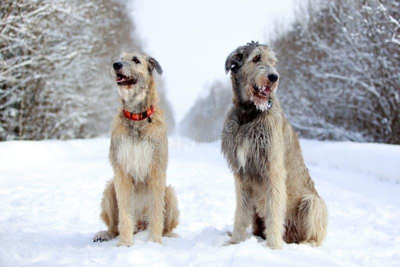 Hund des irischen Wolfshunds zwei lizenzfreies stockfoto