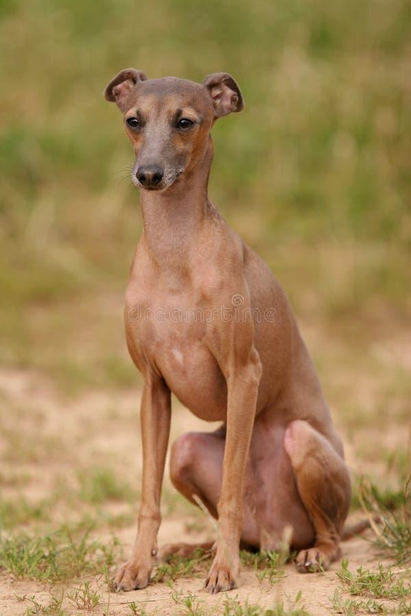 Hund des italienischen Windhunds, der auf dem Gras sitzt lizenzfreies stockbild
