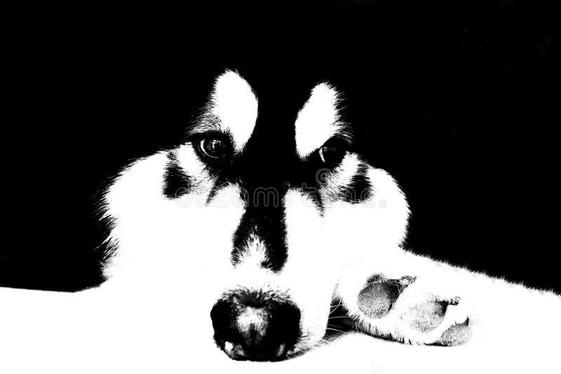 Hund des sibirischen Huskys im Schwarzweiss-Ton lizenzfreies stockfoto
